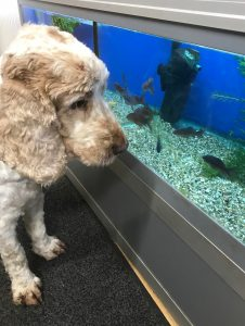 Dexter watching the fish, The Pet Shop Ripon