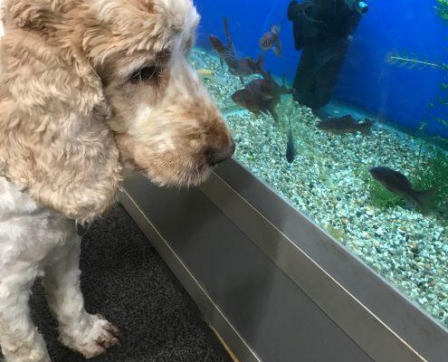 Dexter watching the fish, The Pet Shop Ripon