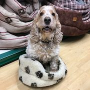 Archie, cocker spaniel, sittiing in dog bed, the Pet Shop Ripon