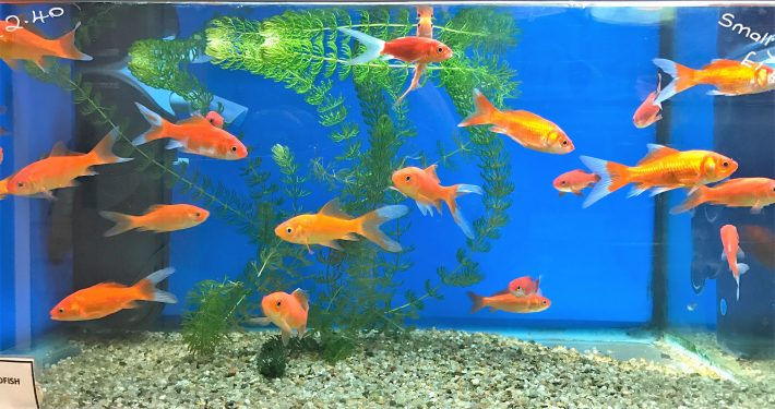 Coldwater tank of goldfish at The Pet SHop Ripon