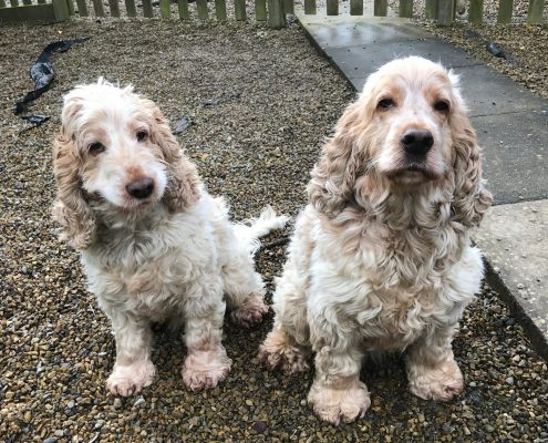 Archie and Dexter Spaniels The Pet Shop Ripon