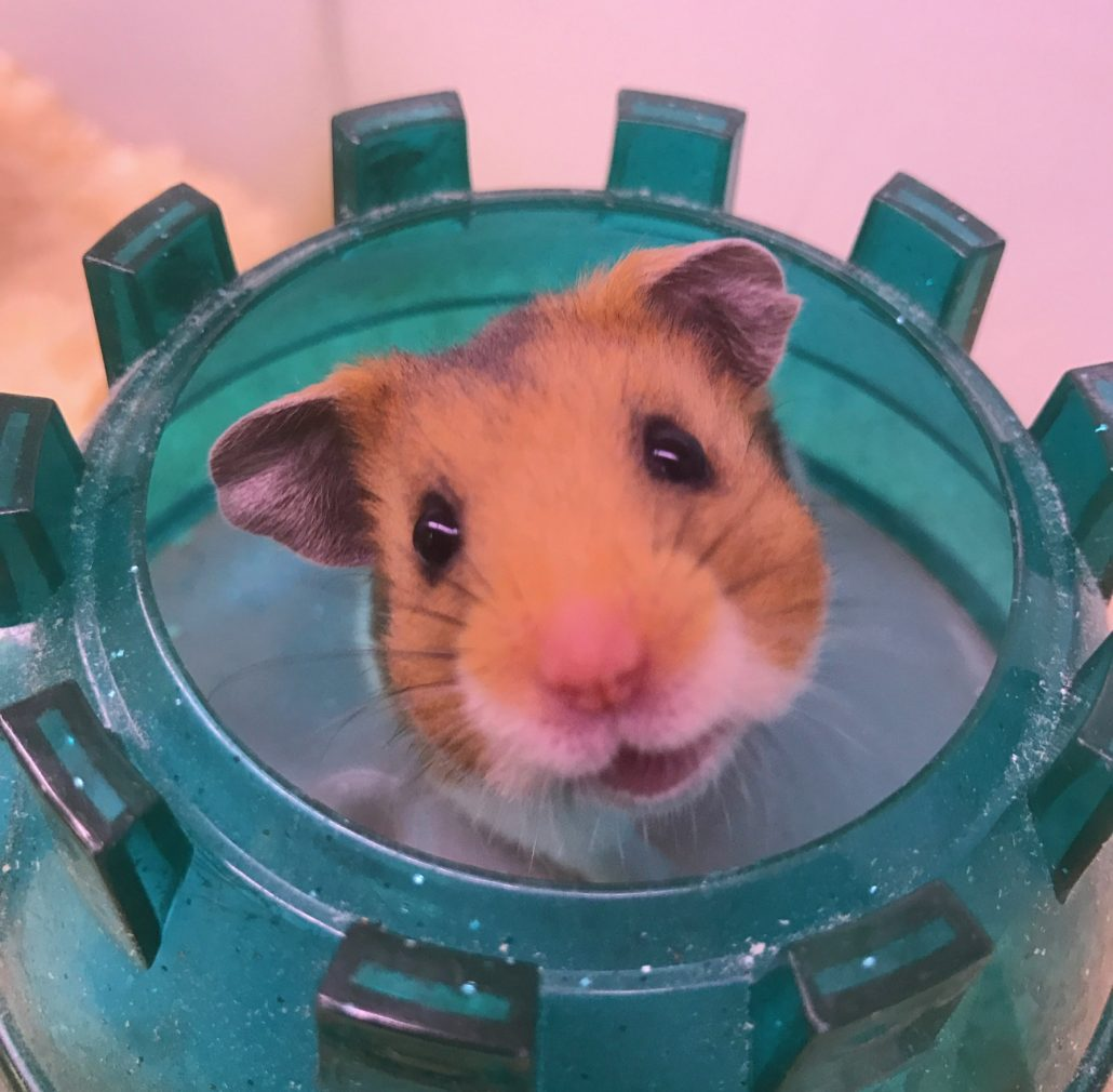 Syrian Hamsters For Sale At The Pet Shop Ripon