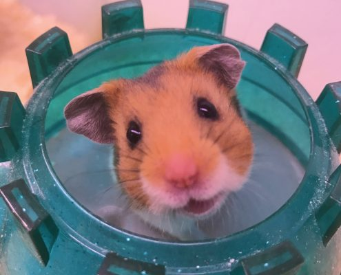 Syrian hamster looking at the camera, the pet shop Ripon