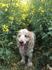 Dexter cocker spaniel walking in the oil seed rape crops