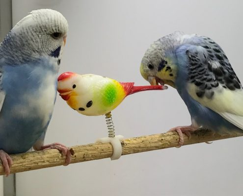 Blue budgies at The Pet Shop Ripon, playing with their toys
