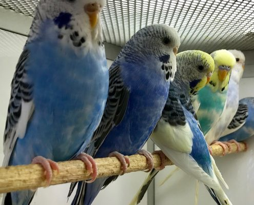We have some baby budgies at The Pet Shop Ripon, all standing in a row on the perch