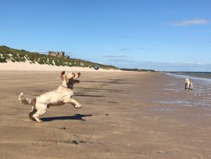 Archie catching a ball on Bamburgh Beach Northumberland