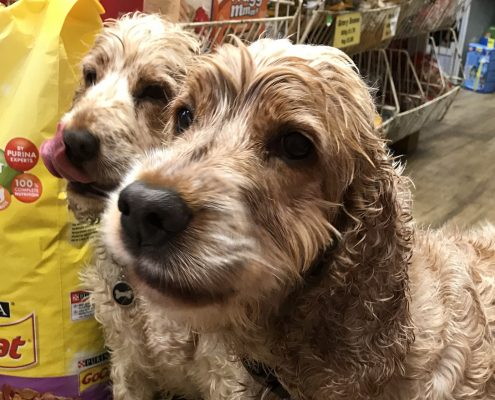 Soggy wet Archie and Dexter Spaniels the Pet Shop Ripon