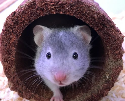 Baby grey hamster for sale The Pet Shop Ripon