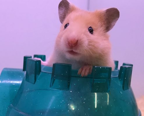 Baby hamster at The Pet Shop Ripon