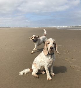 Dexter and Archie Spaniels on the beach