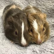 Male guinea pigs for sale at The Pet Shop Ripon