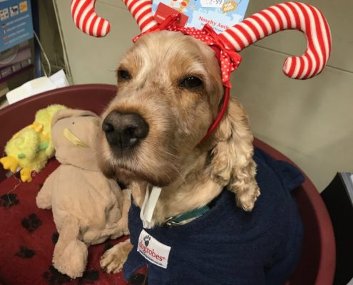 Archie Spaniel wearing a candy cane hat