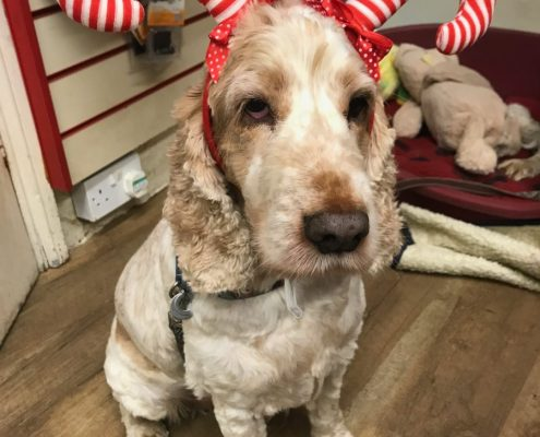 Dexter Spaniel wearing his candy cane hat