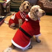 Dexter and Archie Spaniels wearing their Christmas clothes