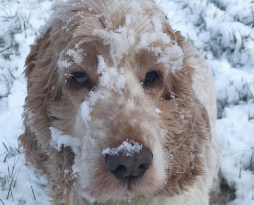 Dexter with snow on his face