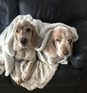 Archie and Dexter cocker spaniels, staying warm wrapped up in their blanket