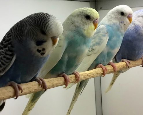 Baby budgies for sale at The Pet Shop Ripon