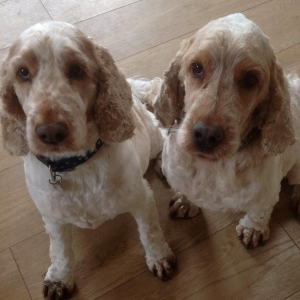 Archie and Dexter cocker spaniels looking very bald after haircuts!