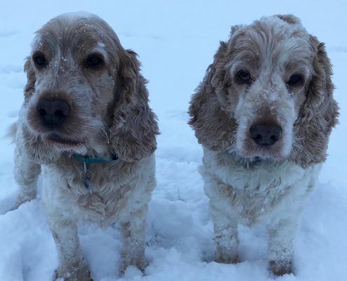 Archie and Dexter spaniels enjoying the snow