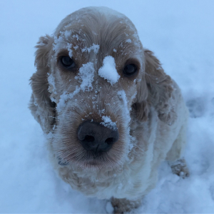 Archie cocker spaniel with a face full of snow
