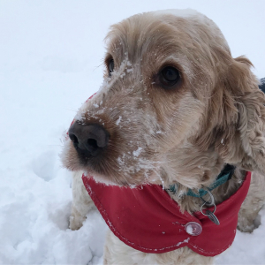 Archie cocker spaniel enjoying the snow