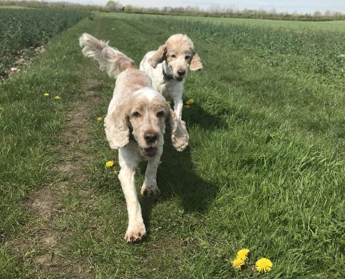 Archie and Dexter running through the fields