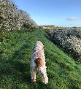 Dexter enjoying a sunny Spring walk