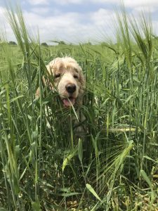 Dexter playing in the field