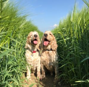Happy dogs in the barley fields