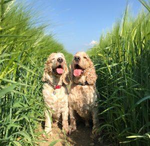 Happy dogs in the barley fields