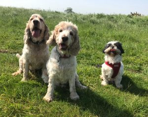 Archie, Dexter and Lola on their walkies