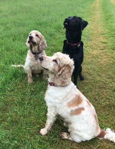 Archie and Dexter enjoying walkies with their new Labrador friend Jess