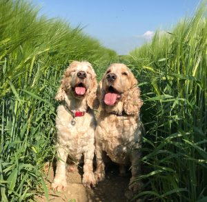 Smiling Archie and Dexter in the Barley fields
