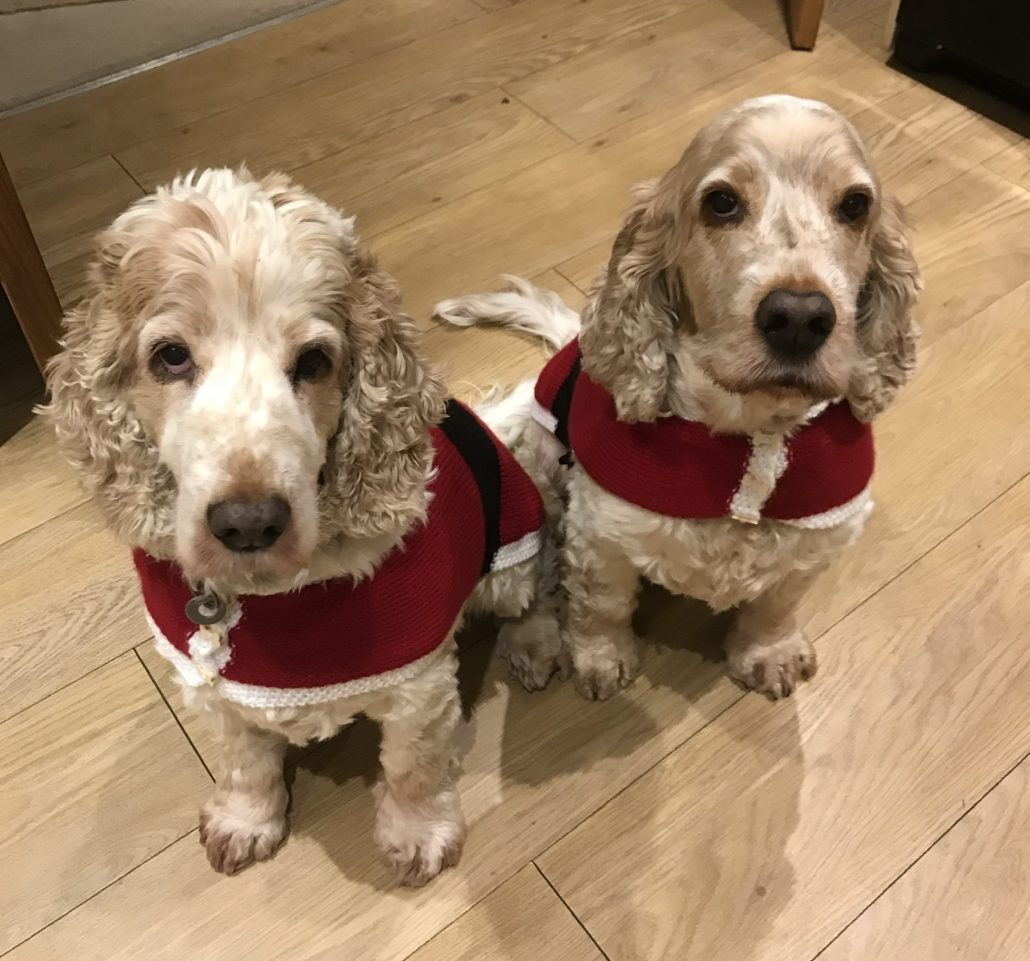 Archie and Dexter Spaniels, waiting for Christmas