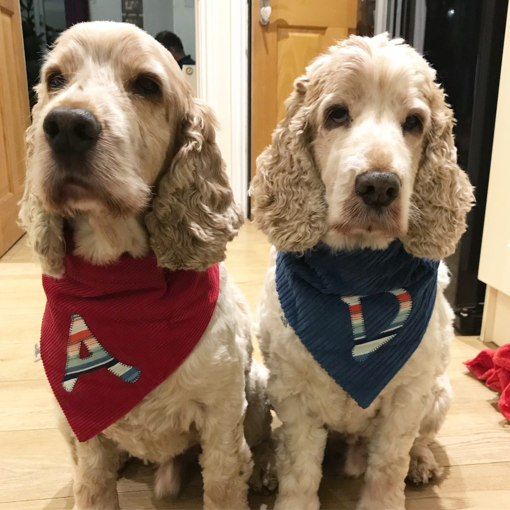 Archie and Dexter The Pet Shop Ripon, modelling their new bandanas