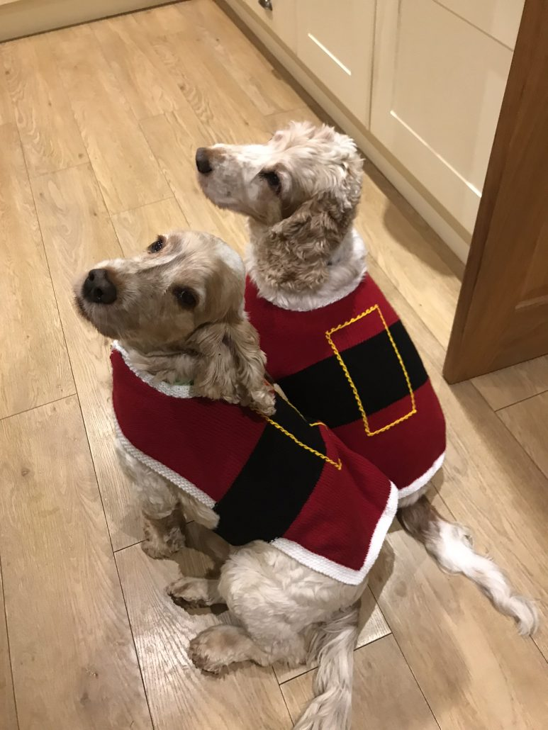 Archie and Dexter Spaniels wearing their new Santa jumpers
