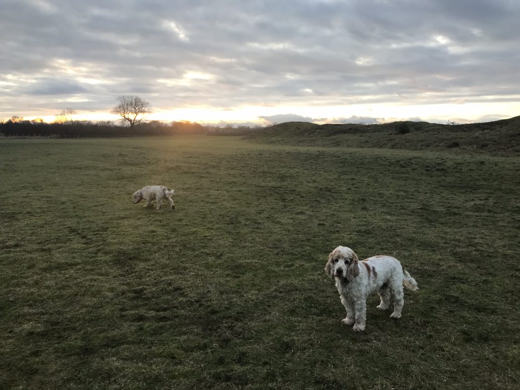 Sunset walkies Archie and Dexter The Pet Shop Ripon