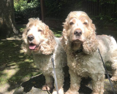 Archie and Dexter cocker spaniels The Pet Shop Ripon