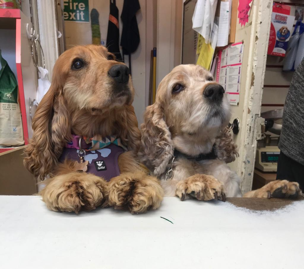 Archie and Sparrow cocker spaniels at The Pet Shop Ripon