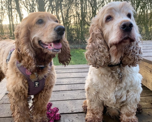 Archie and Sparrow cocker spaniels