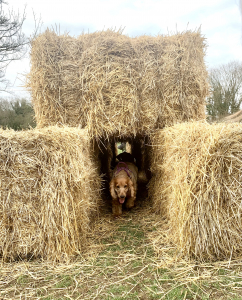 Sparrow cocker spaniel, playing in the straw bales