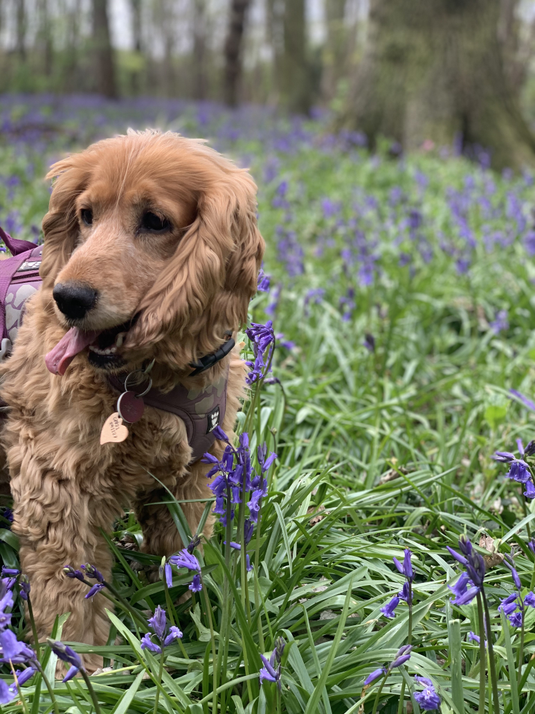 Sparrow cocker spaniel in the bluebells