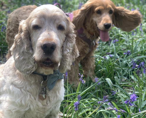 Archie and Sparrow Cocker Spaniels, in the bluebells